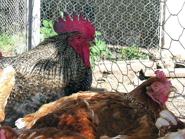 Un couple de poules