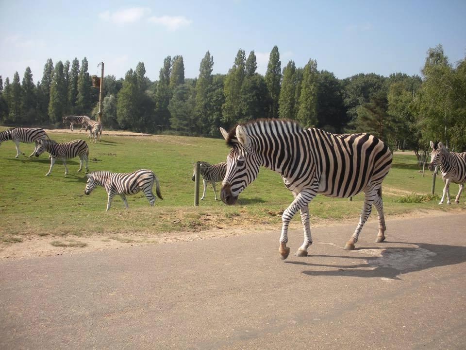 Zèbres au zoo de Thoiry
