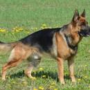 Un berger allemand pour un maître jeune et dynamique