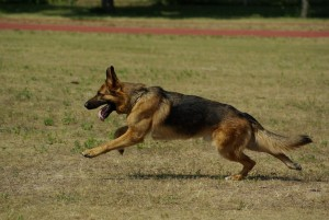 german-shepherd-707063_1280