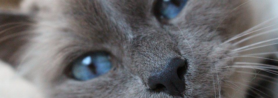 Les races de chats les plus calmes