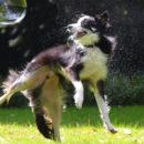 Border Collie : tout savoir sur cette race de chien